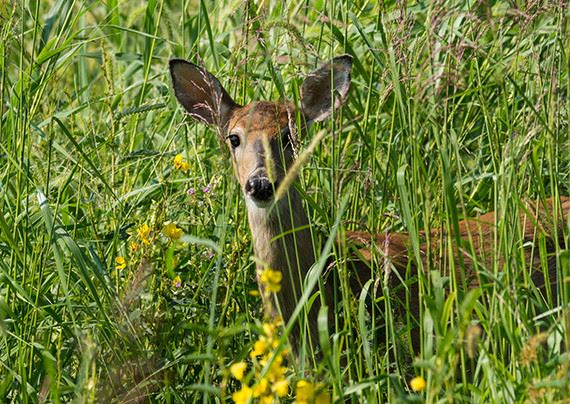 A doe amidst tall green grass